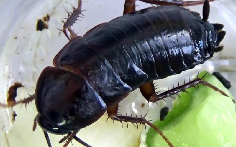 Болгарский таракан