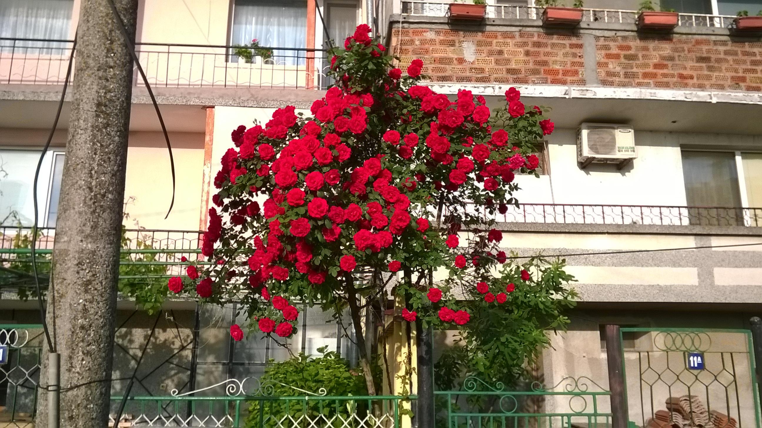 Болгарские розы