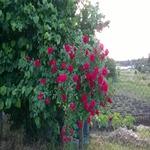 Розы в Болгарии. Фото и видео.