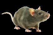 Книги о крысах