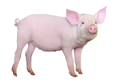 Книги о свиньях